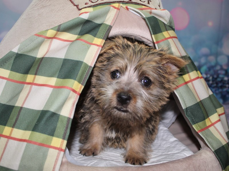 Cairn Terrier-Male-WHEATEN-2740276-Pet City Houston