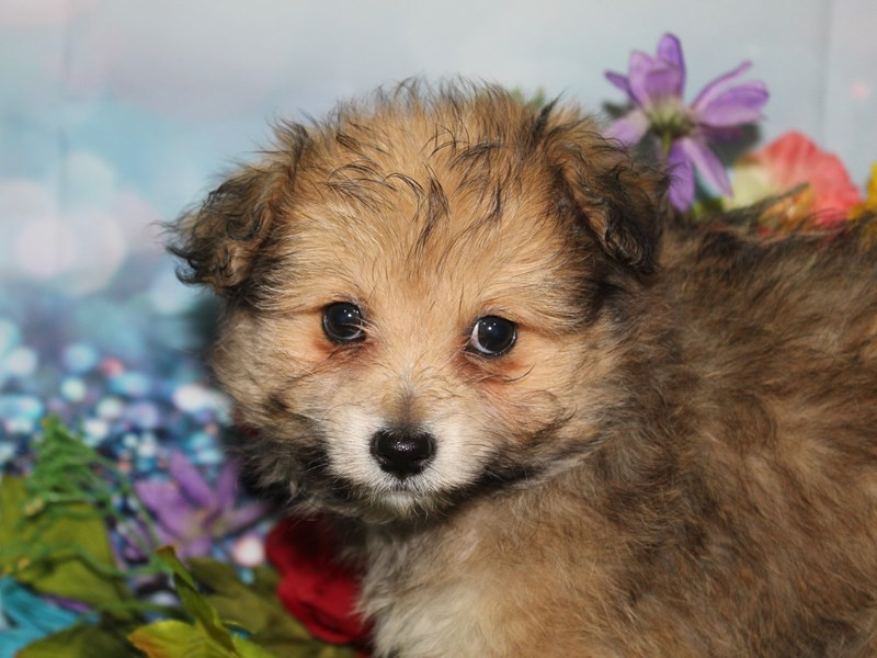 Pomapoo-Female-WOLF SABLE-2740063-Pet City Houston