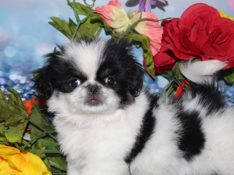 Pekingese-Female-BLACK / WHITE-2740042-Pet City Houston