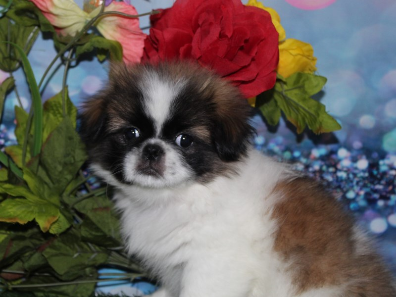 Pekingese-Female-TRI-2740043-Pet City Houston