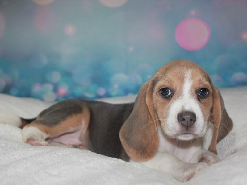 Beagle-Female-BLUE TRI-2743397-Pet City Houston