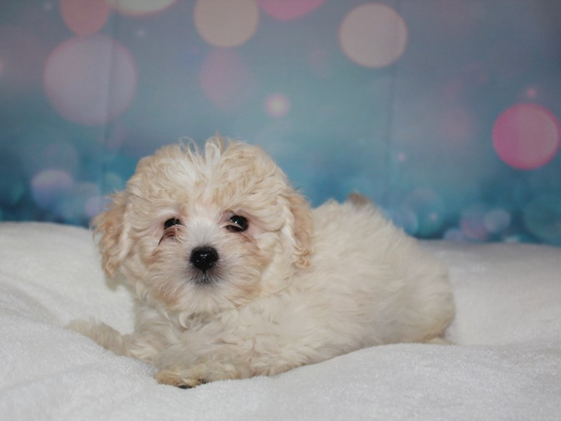 Lhasa Poo-Male-CREAM-2743348-Pet City Houston