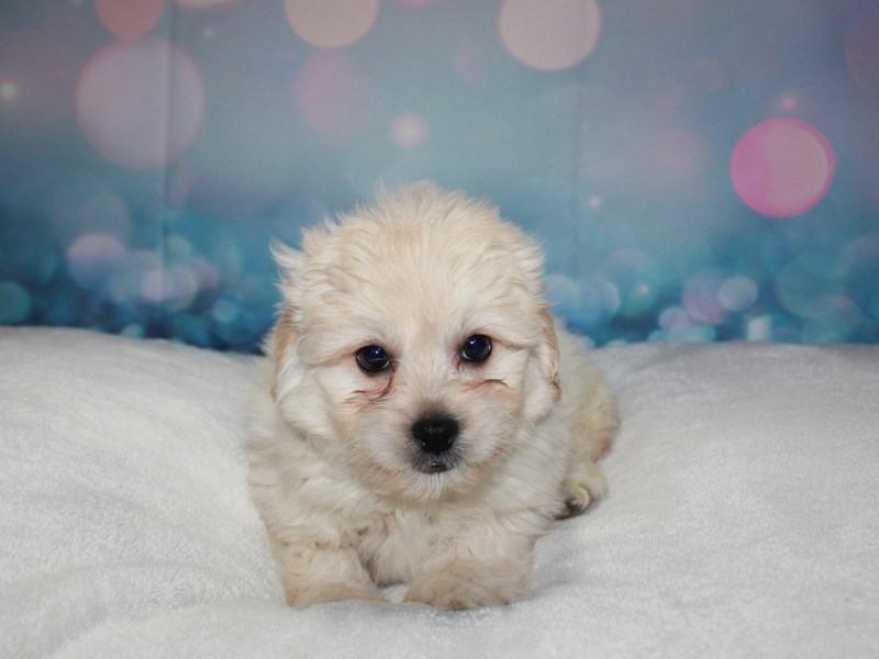 Lhasa Poo-Male-CREAM-2743346-Pet City Houston
