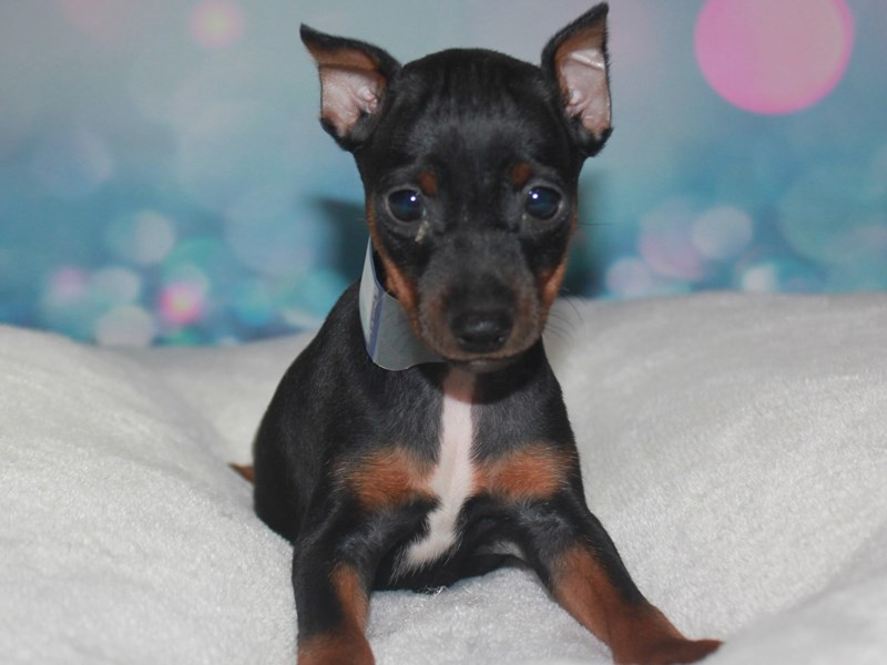 Miniature Pinscher-Male-Black/tan-2742203-Pet City Houston