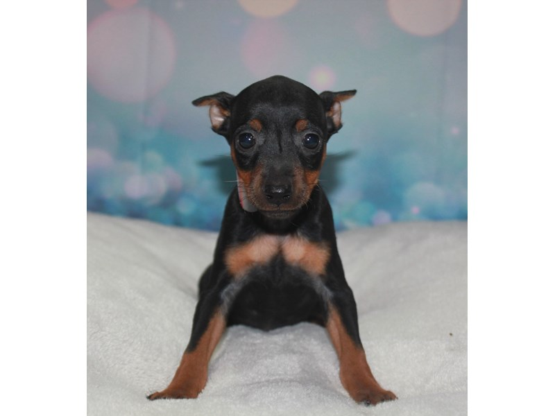 Miniature Pinscher-Female-Black/tan-2742194-Pet City Houston