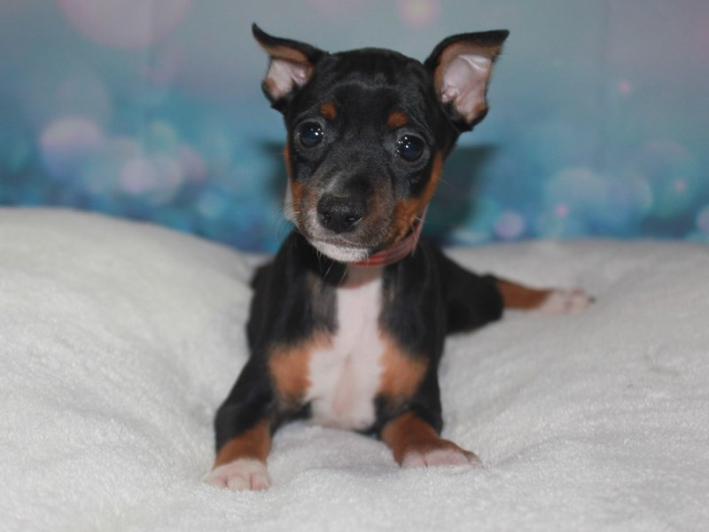 Miniature Pinscher-Female-Black/tan-2742198-Pet City Houston