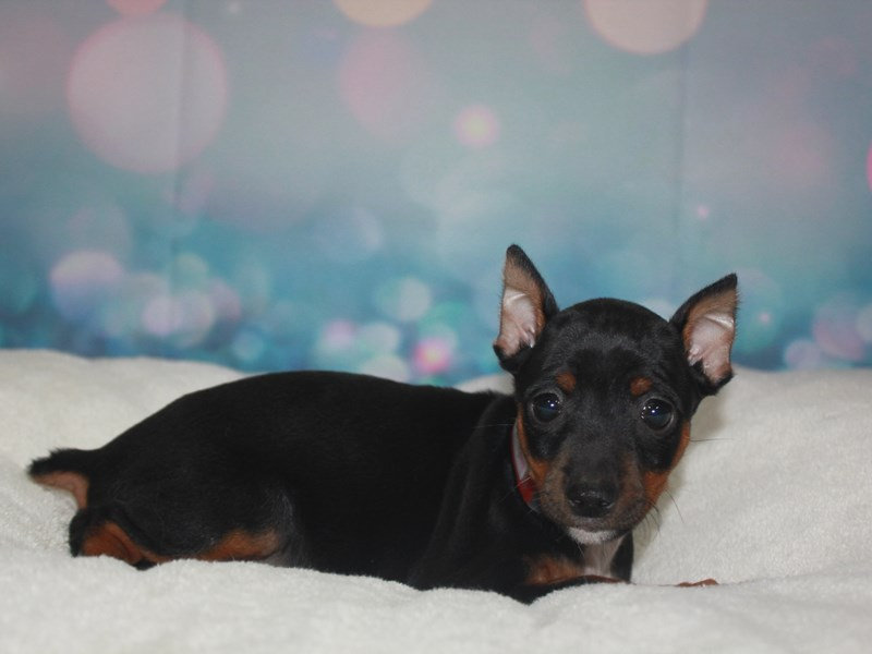 Miniature Pinscher-Female-Black/tan-2742211-Pet City Houston