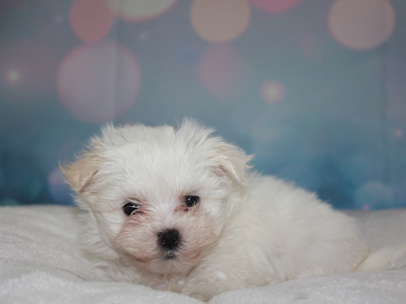 Maltese-Female-White-2742185-Pet City Houston