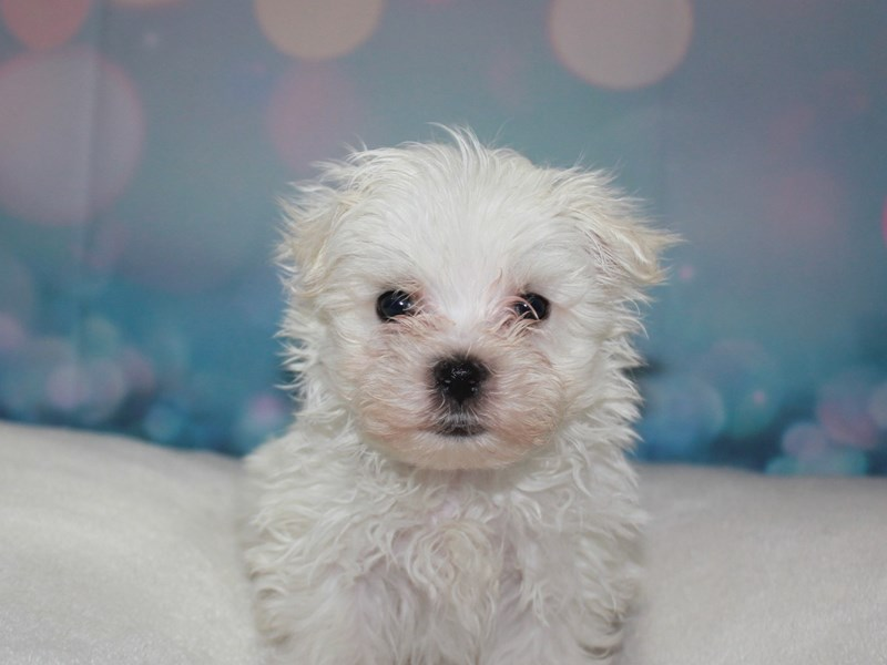 Maltese-Male-White-2742175-Pet City Houston
