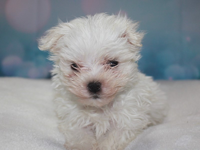 Maltese-Male-White-2742173-Pet City Houston