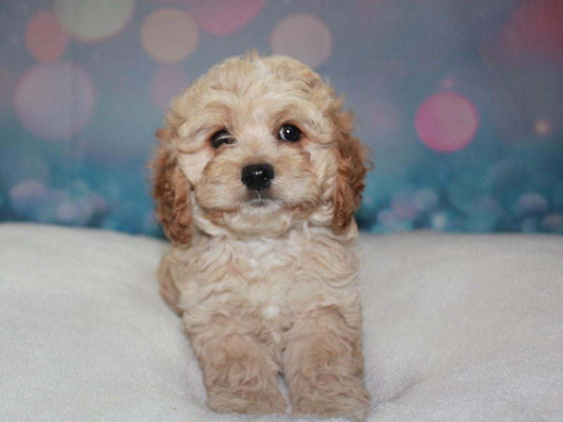 Cockapoo-Male-Apricot-2742239-Pet City Houston