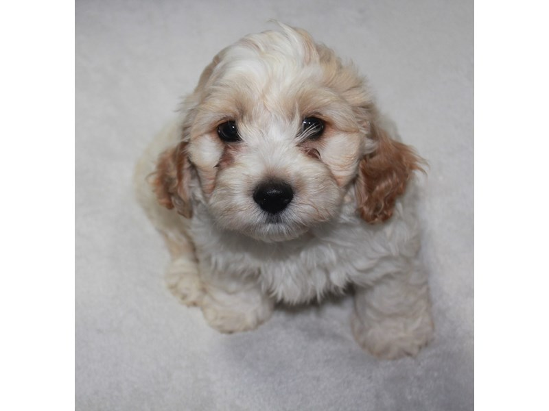 Cockapoo-Male-White/apricot-2742236-Pet City Houston