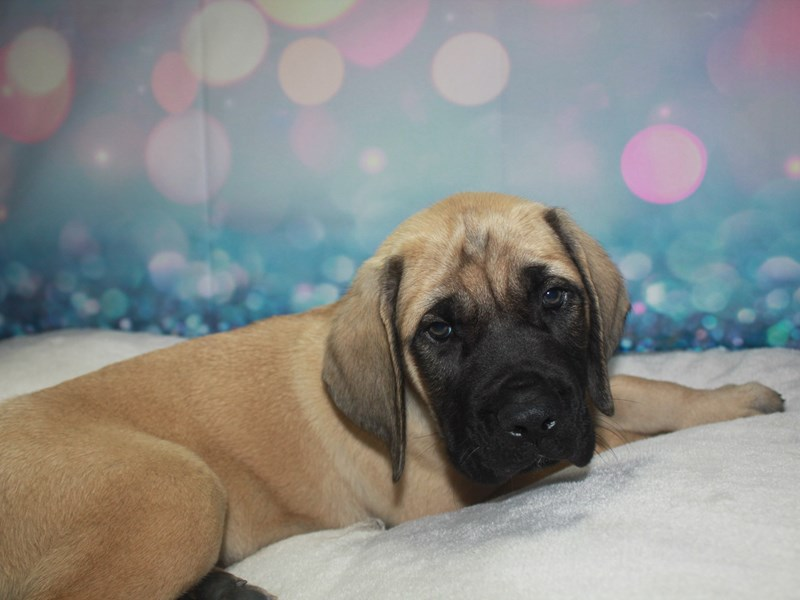 English Mastiff-Male-Fawn-2742218-Pet City Houston