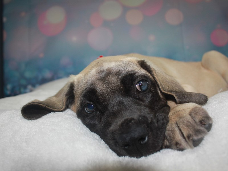 English Mastiff-Female-Fawn-2742224-Pet City Houston