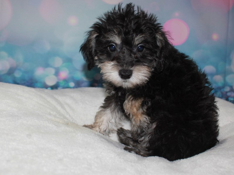 Schnoodle-Male-BLK & SLV-2743349-Pet City Houston