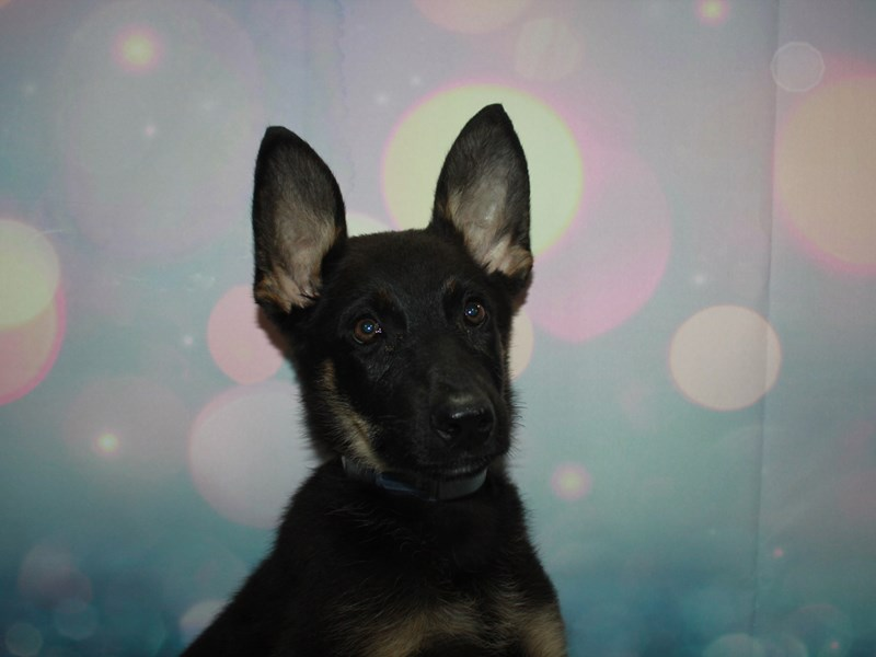 German Shepherd-Male-Blk/Tan-2744844-Pet City Houston