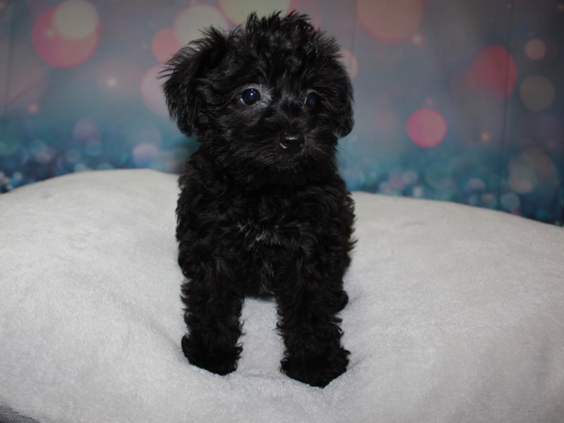 Schnoodle-Female-BLK-2743353-Pet City Houston