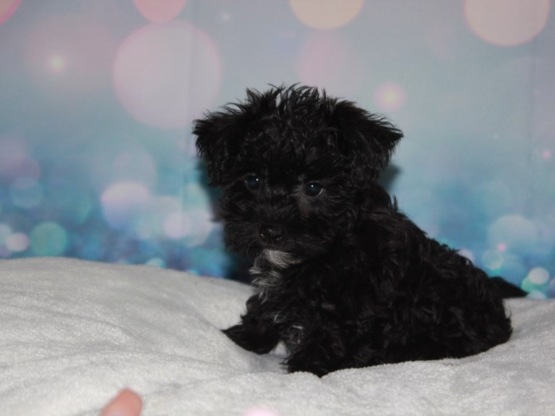 Schnoodle-Male-BLK-2743351-Pet City Houston