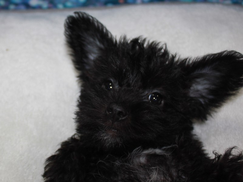 Schnoodle-Female-BLK-2743355-Pet City Houston