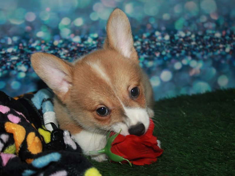 Pembroke Welsh Corgi-Male-Fawn-2742164-Pet City Houston