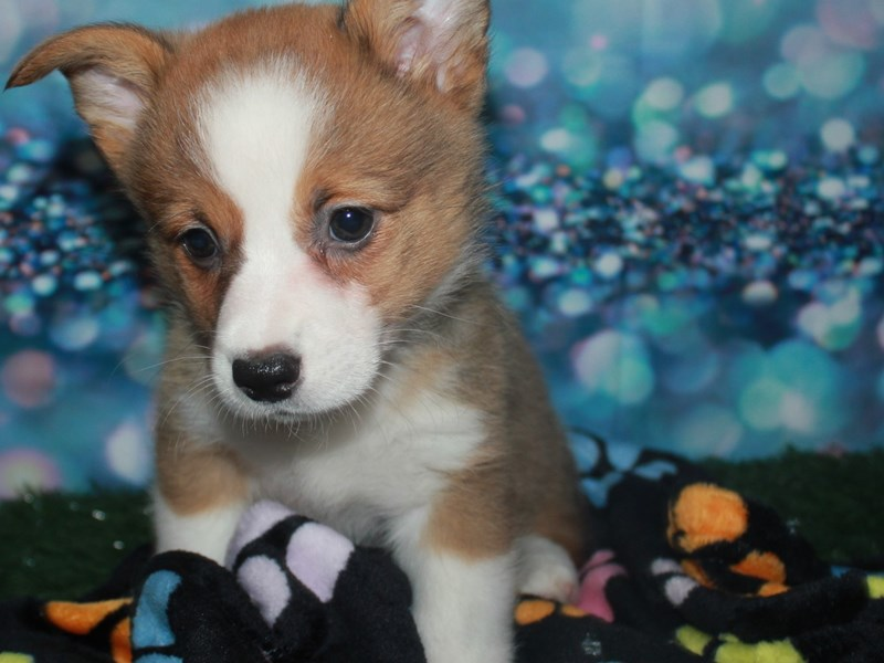 Pembroke Welsh Corgi-Female-Fawn-2742161-Pet City Houston