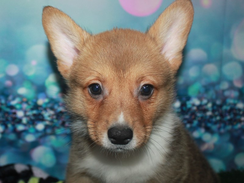 Pembroke Welsh Corgi-Male-Fawn-2742159-Pet City Houston