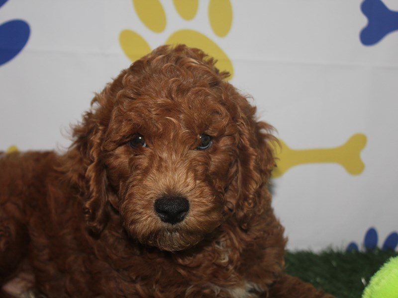 Mini Goldendoodle-Male-GOLDEN-2751329-Pet City Houston
