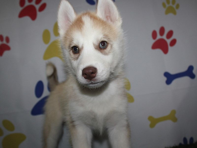 Siberian Husky-Male-RED / WHITE-2751375-Pet City Houston