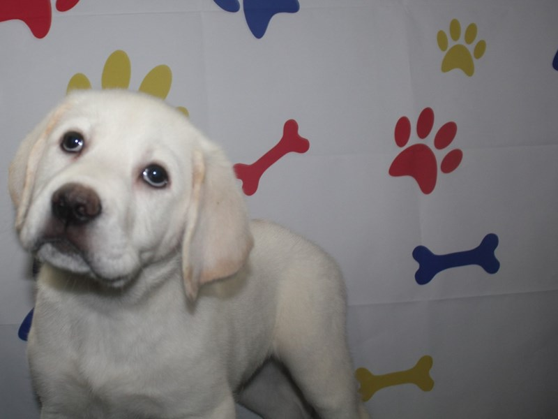 Labrador Retriever-Male-YELLOW-2736146-Pet City Houston