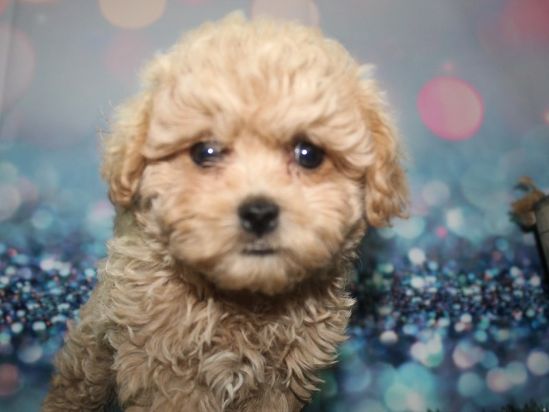 Shih-Poo-Male-APRICOT-2729068-Pet City Houston