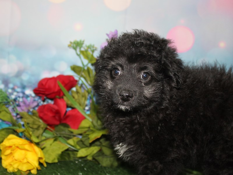 Pomapoo-Female-BLACK / WHITE-2740059-Pet City Houston