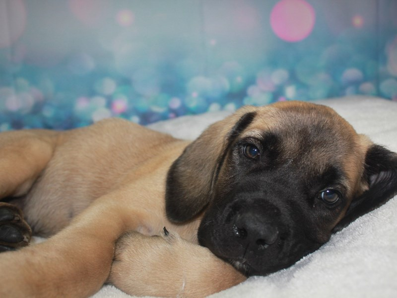 English Mastiff-Male-Fawn-2742213-Pet City Houston