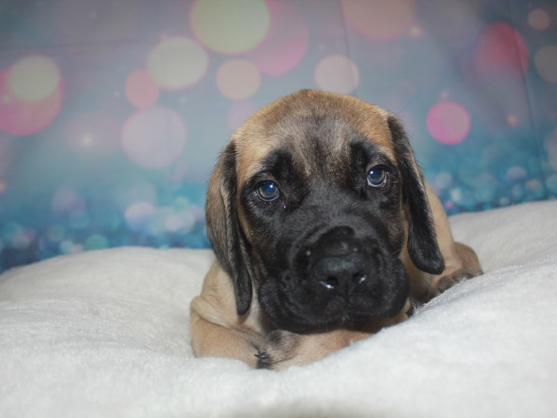 English Mastiff-Female-Fawn-2742222-Pet City Houston