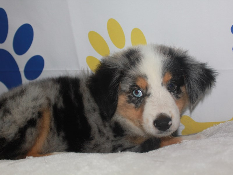 Miniature Australian Shepherd-Male-BLUE MERLE-2758039-Pet City Houston