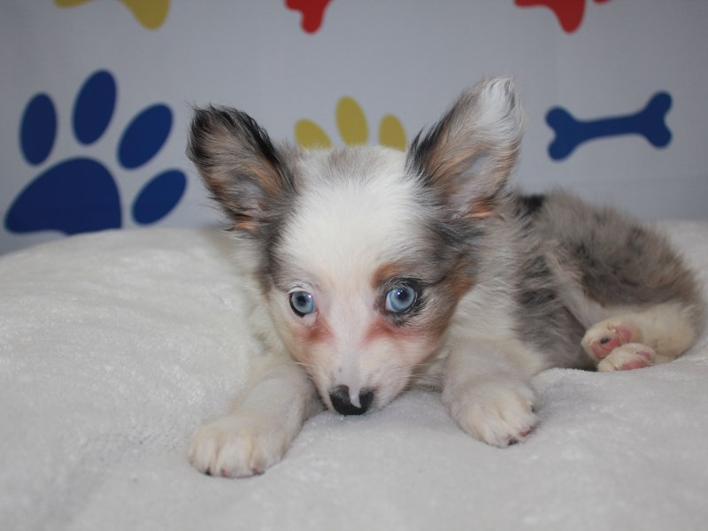 Miniature Australian Shepherd-Male-BLU MERLE CPR MKGS-2758168-Pet City Houston