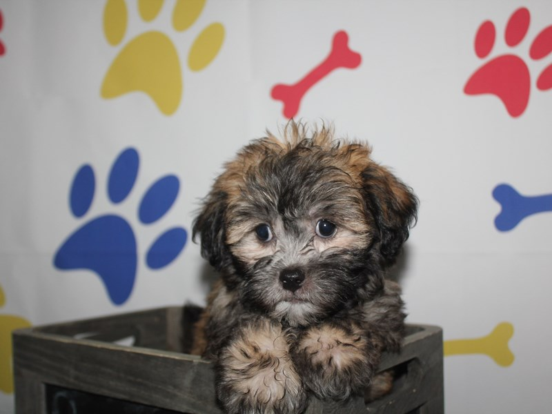 Shih-Poo-Male-RED SBL BLK MKGS-2758226-Pet City Houston