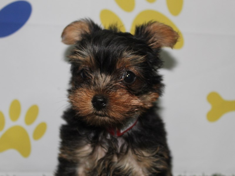 Yorkshire Terrier-Female-BLK/TAN-2758901-Pet City Houston