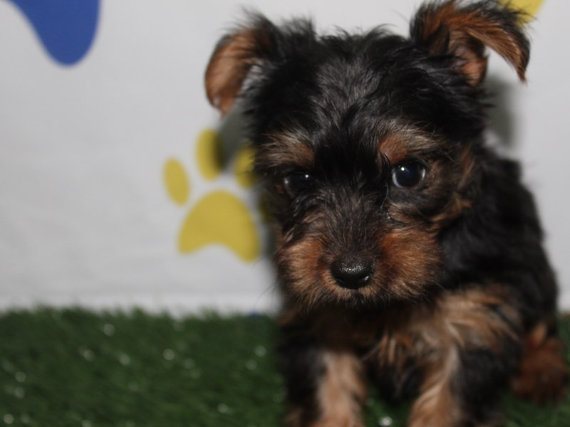 Yorkshire Terrier-Female-BLK/TAN-2758906-Pet City Houston