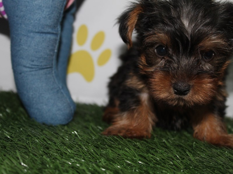 Yorkshire Terrier-Female-BLK/TAN-2758904-Pet City Houston