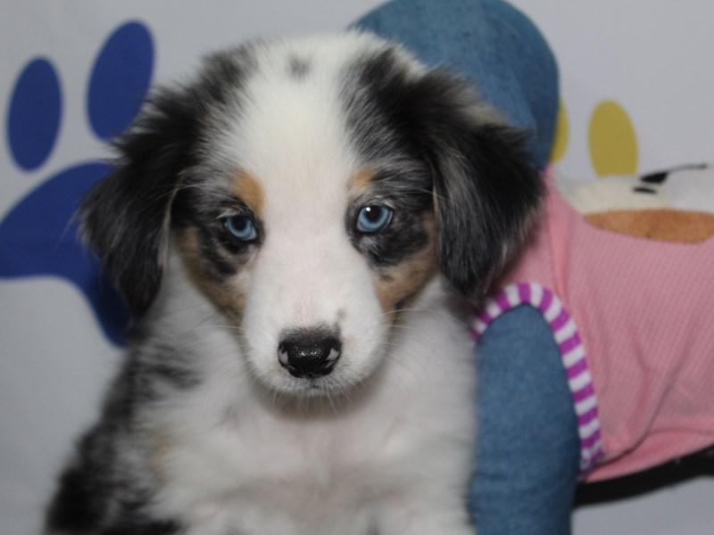 Miniature Australian Shepherd-Male-BLUE MERLE-2758038-Pet City Houston