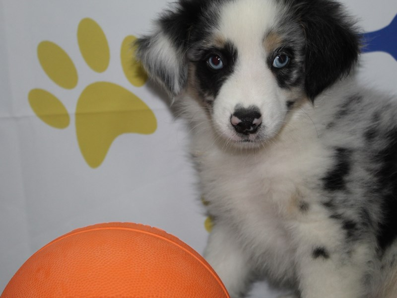 Miniature Australian Shepherd-Male-BLUE MERLE-2758044-Pet City Houston