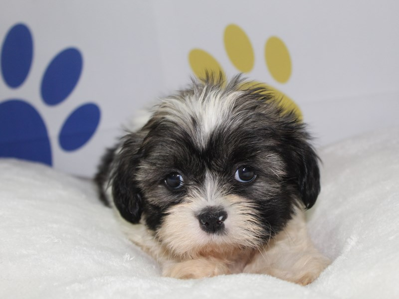 Shih Tzu-Male-TRI-2759009-Pet City Houston