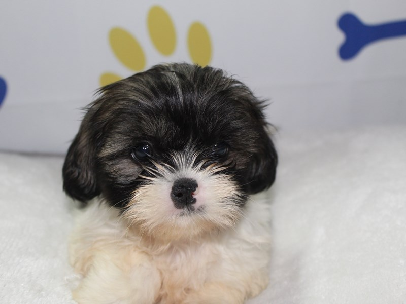 Shih Tzu-Female-TRI-2759002-Pet City Houston