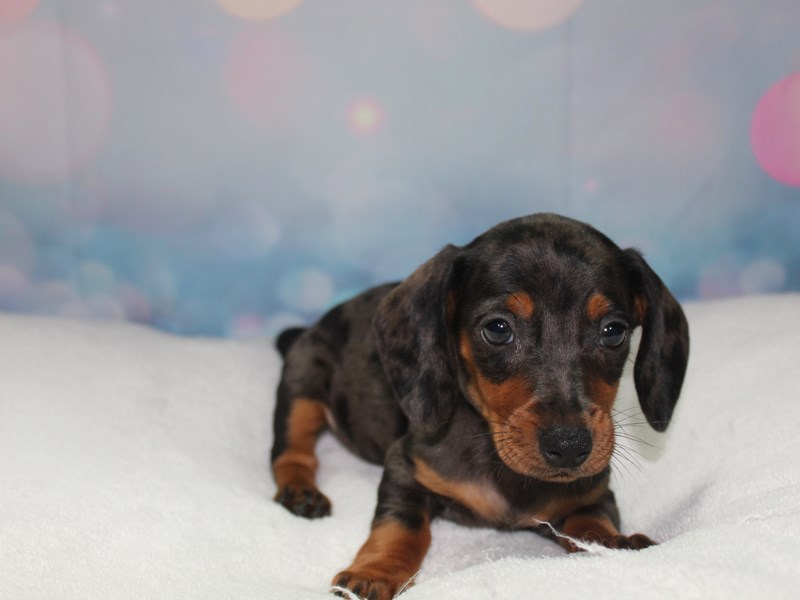 Dachshund-Male-BLK/ TAN-2758979-Pet City Houston