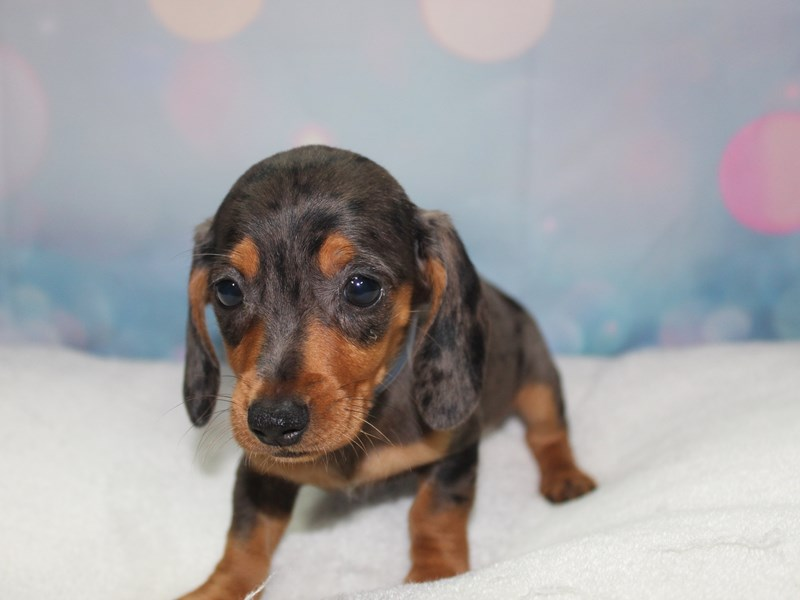 Dachshund-Male-BLK/ TAN-2758977-Pet City Houston