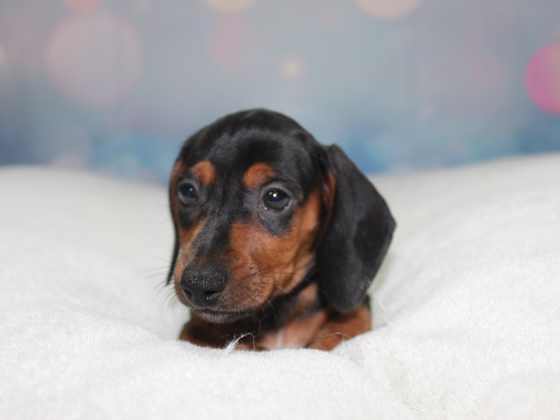 Dachshund-Male-BLK/ TAN-2758974-Pet City Houston