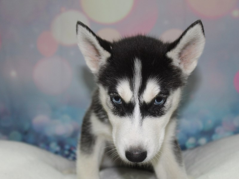 Siberian Husky-Female-BLK/ WHT-2758116-Pet City Houston