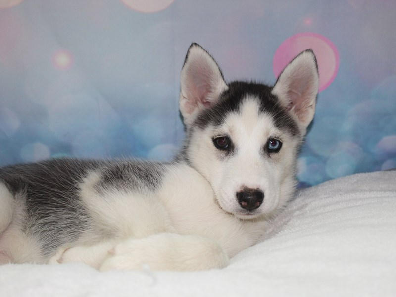 Siberian Husky-Female-BLK/ WHT-2758110-Pet City Houston
