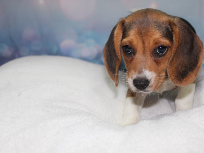 Beagle-Female-TRI-2759017-Pet City Houston