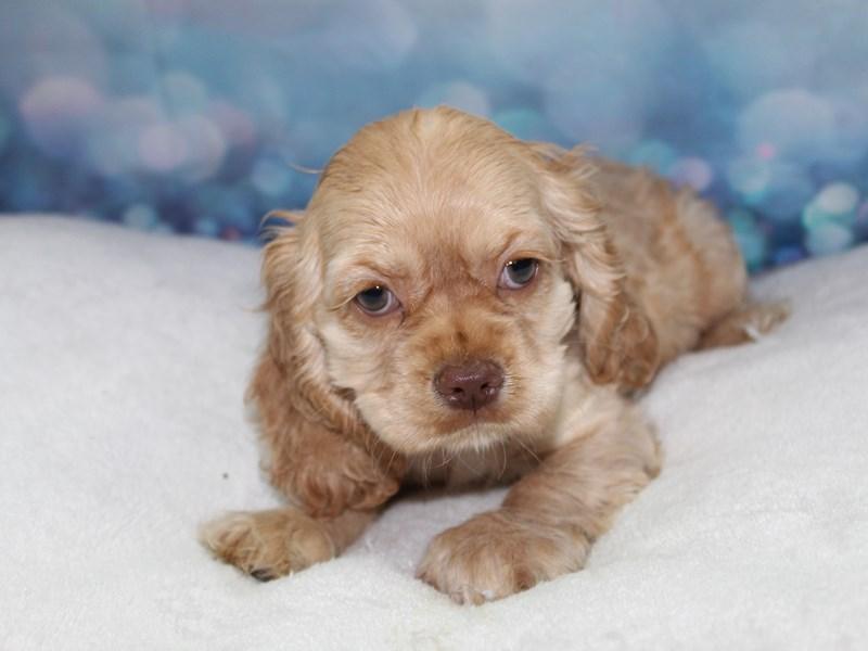 Cocker Spaniel-Female-Buff-2758400-Pet City Houston